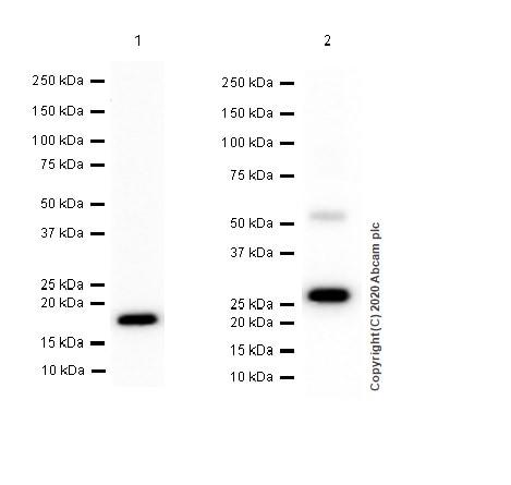 Western blot - Anti-IL-28A + IL-28B antibody [EPR5328(2)] (ab126713)