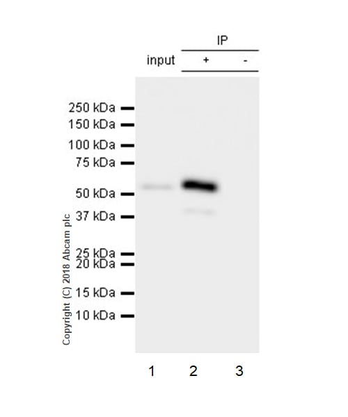 Immunoprecipitation - Anti-FKBP51 antibody [EPR6617] (ab126715)