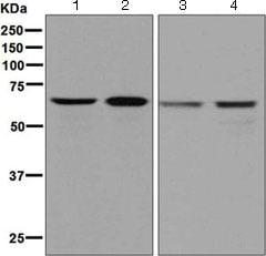 Western blot - Anti-DDX5 antibody [EPR7239] (ab126730)