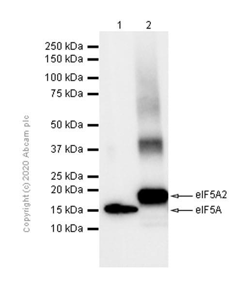 Western blot - Anti-eIF5A2 + eIF5A antibody [EPR7411-6] (ab126735)