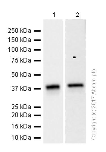 Western blot - Anti-QKI antibody [EPR7306] (ab126742)