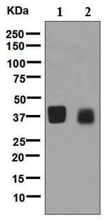 Western blot - Anti-OIF antibody [EPR6963] (ab126749)