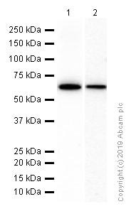 Western blot - Anti-Monoamine Oxidase A/MAO-A antibody [EPR7101] (ab126751)