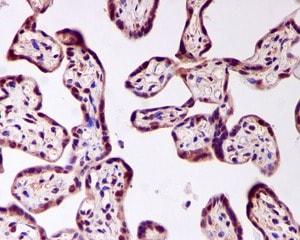 Immunohistochemistry (Formalin/PFA-fixed paraffin-embedded sections) - Anti-FOXO4/AFX antibody [EPR2150(3)] (ab126757)