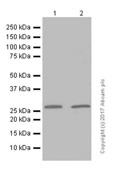 Western blot - Anti-MTAP antibody [EPR6893] (ab126770)