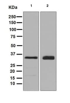 Western blot - Anti-TRAP alpha/TRAPA antibody [EPR5604] (ab126775)