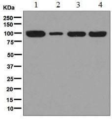 Western blot - Anti-C7 antibody [EPR7036] (ab126786)