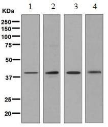 Western blot - Anti-QKI antibody [EPR7305(B)] (ab126791)