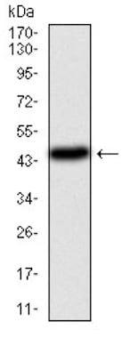 Western blot - Anti-PI 3 Kinase catalytic subunit alpha/PIK3CA antibody [4F3] (ab126819)