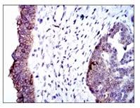 Immunohistochemistry (Formalin/PFA-fixed paraffin-embedded sections) - Anti-Alkaline Phosphatase, Tissue Non-Specific antibody [2F4] (ab126820)