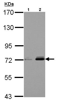 Western blot - Anti-URP2/Kindlin-3 antibody (ab126900)