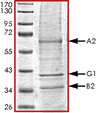 SDS-PAGE - Recombinant human PRKAA2 + PRKAB2 + PRKAG1 protein (ab126911)