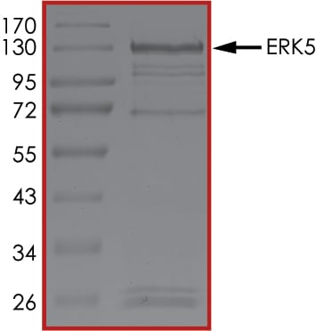 SDS-PAGE - Recombinant human ERK5 protein (ab126913)