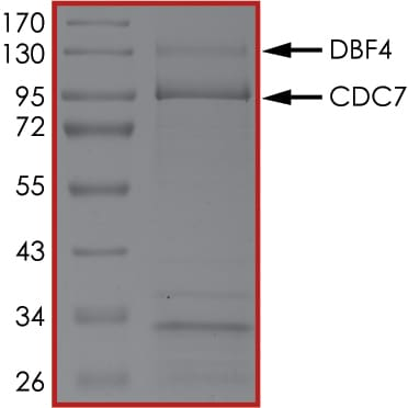 SDS-PAGE - Recombinant human CDC7 + DBF4 protein (ab126914)