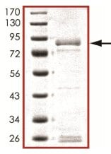 SDS-PAGE - Recombinant human Flt4 protein (ab126923)