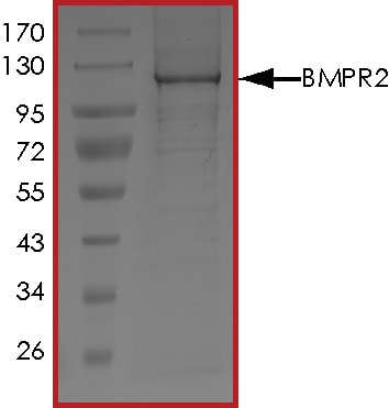 SDS-PAGE - Recombinant human BMPR2 protein (ab126926)