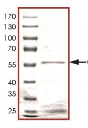 SDS-PAGE - Recombinant Human Cdk3 protein (ab126928)
