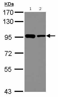 Western blot - Anti-DDX21 antibody (ab126968)