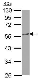 Western blot - Anti-p60 katanin antibody (ab127538)