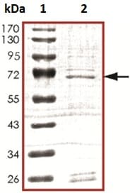 SDS-PAGE - Recombinant Human A RAF protein (ab127659)