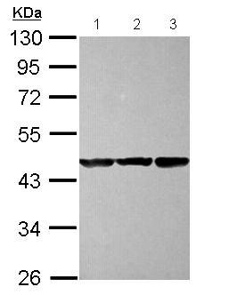 Western blot - Anti-COBP antibody (ab127713)