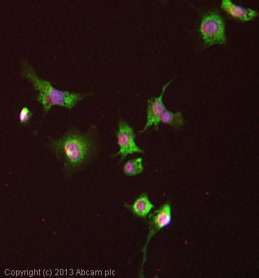 Immunocytochemistry/ Immunofluorescence - Anti-UQCRC2 antibody (ab127872)