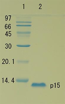 SDS-PAGE - Recombinant HIV1 Gag p15 protein (ab127887)