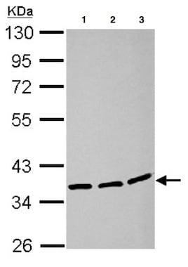 Western blot - Anti-LRRC59 antibody (ab127912)
