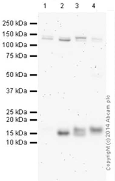 Western blot - Anti-LC3A/B antibody (ab128025)