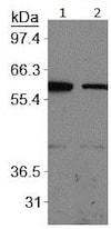 Western blot - Anti-Glucose Transporter GLUT1 antibody (ab128033)