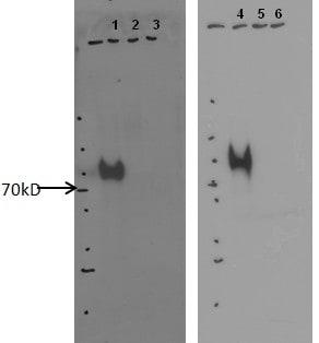 Western blot - Anti-RIMBP2 antibody [12.3_1E4] (ab128045)