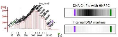 ChIP - Anti-hnRNP C1 + C2/HNRNPC antibody [55.1_3A9] (ab128049)