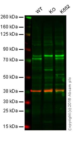 Western blot - Anti-SAMHD1 antibody [OTI1A1] (ab128107)