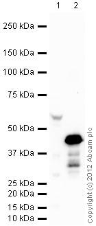 Western blot - HRP Anti-HA tag antibody (ab128131)