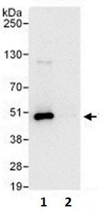 Immunoprecipitation - Anti-TRIP13/PCH2 antibody (ab128187)