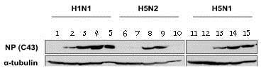 Western blot - Anti-Influenza A Virus Nucleoprotein antibody [C43] (ab128193)