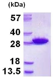 SDS-PAGE - Recombinant Human GSTM5 protein (ab128441)