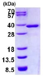 SDS-PAGE - Recombinant Human NMRAL1 protein (ab128450)