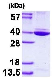 SDS-PAGE - Recombinant Human Annexin A8 like2 protein (ab128452)