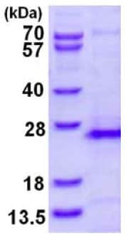 SDS-PAGE - Recombinant Human RHOG protein (ab128454)