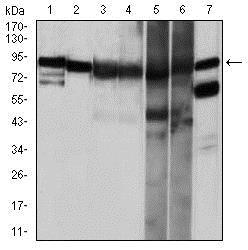 Western blot - Anti-Hsp90 alpha antibody [5G5] (ab128483)