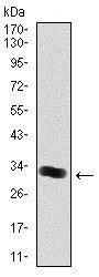 Western blot - Anti-Thrombopoietin antibody [1B11] (ab128487)