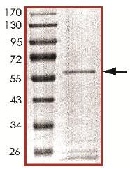 Western blot - Recombinant human PPP1CB (ab128551) (ab128551)