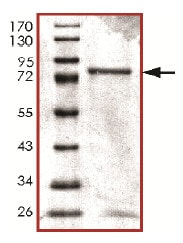 SDS-PAGE - Recombinant Human Calcineurin A protein (ab128554) (ab128554)