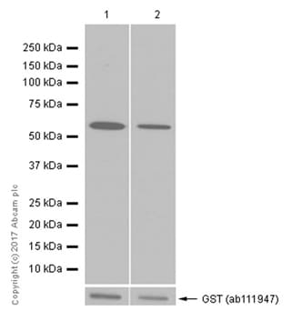 Western blot - Recombinant Human PPP2CB protein (ab128562)