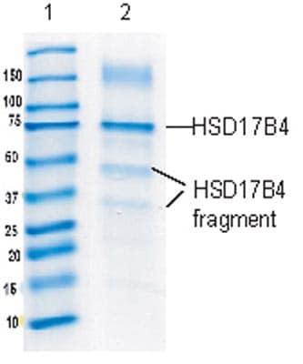 Immunoprecipitation - Anti-HSD17B4 antibody [2D3BB5BF10] (ab128565)
