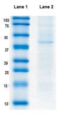 Immunoprecipitation - Anti-ACADL/LCAD antibody [7F5DD6] (ab128566)