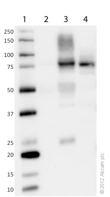 Western blot - Anti-CPT1A antibody [8F6AE9] (ab128568)
