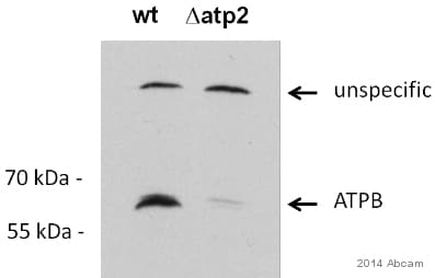 Western blot - Anti-ATPB antibody (ab128743)