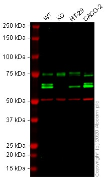 Western blot - Anti-CARM1 antibody (ab128851)